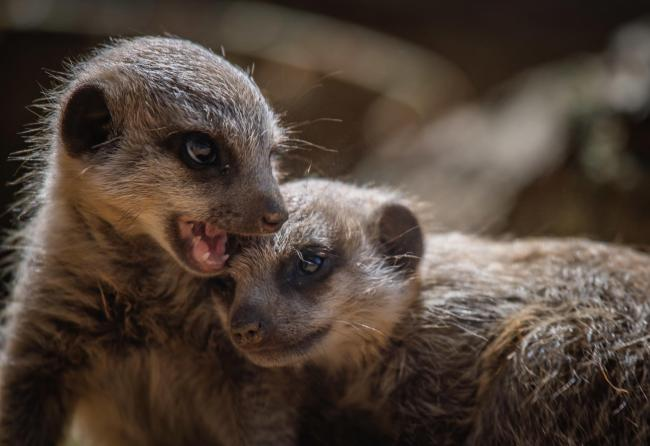Playful baby meerkats, born at Chester Zoo, scramble over each other as they explore for the first time
