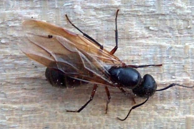 Flying Ant Day is on the way