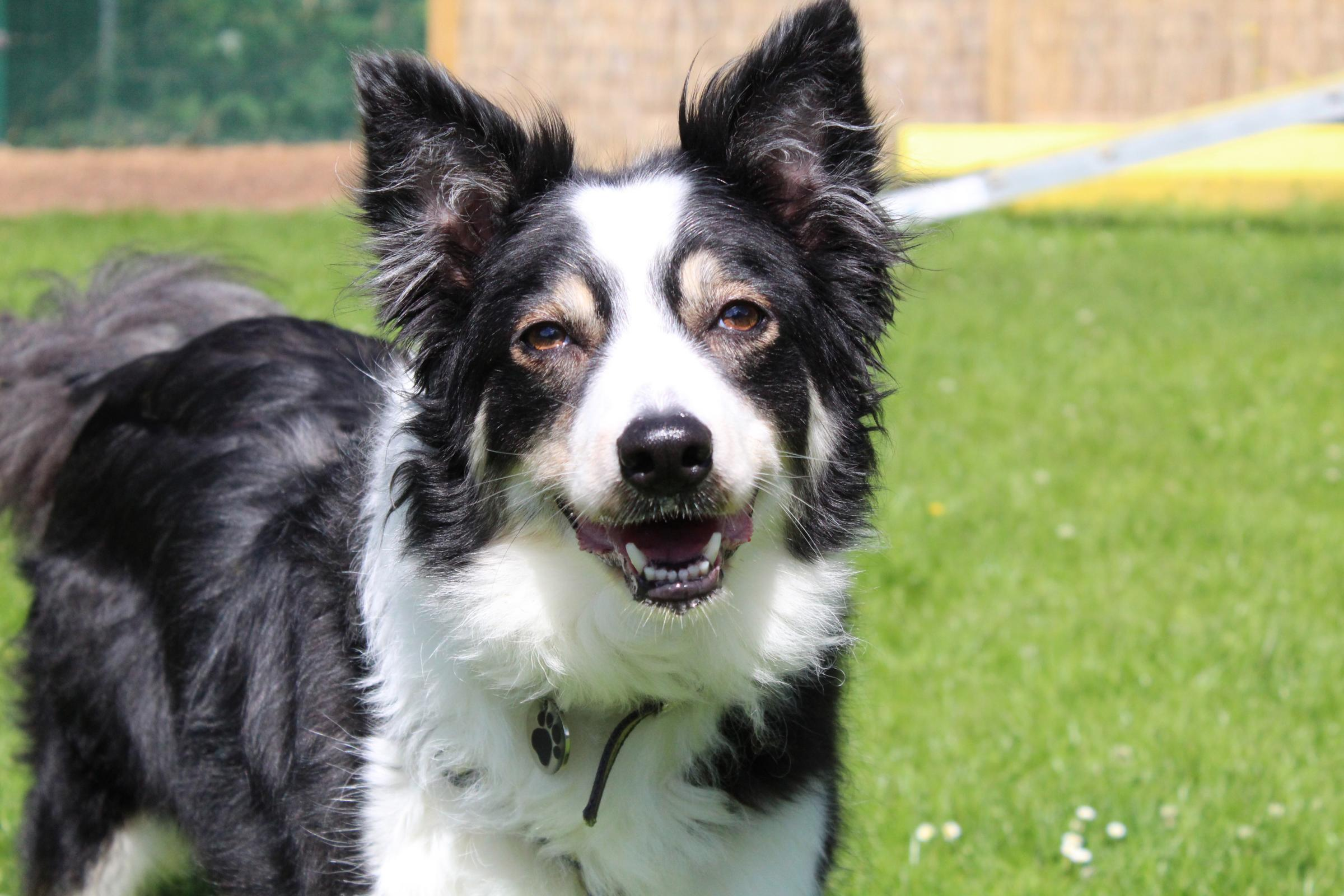 Sweet border collie Indy looking for her forever family
