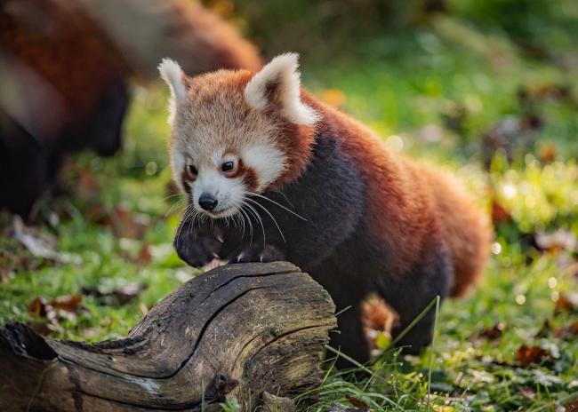 Chester Zoo Hosts Virtual Day Out By Livestreaming Animals For