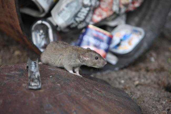 Why you're more likely to see rats this winter (and what you can do about it)