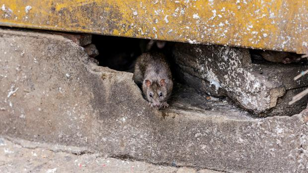 Wirral Globe: How to prevent rats in your home. Credit: BPCA