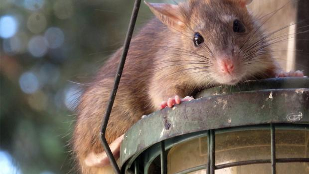 Wirral Globe: What to do if you think you have rats. Credit: BPCA