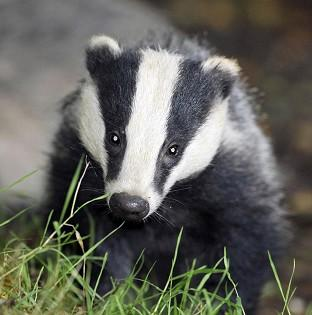 South Wirral MP urges readers to fight badger cull