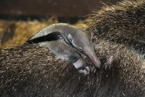 Rare baby giant anteater born at Chester Zoo