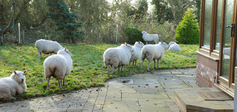 Ewe'll never believe it... herd of sheep gatecrash Wirral garden