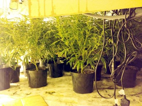 Merseyside Police crackdown nets £6.5m of cannabis in a single month