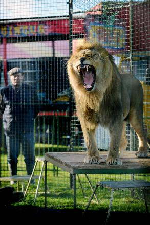 One of the lions which performs at Peter Jolly's Circus, one of only two in England that still uses live animals in the ring