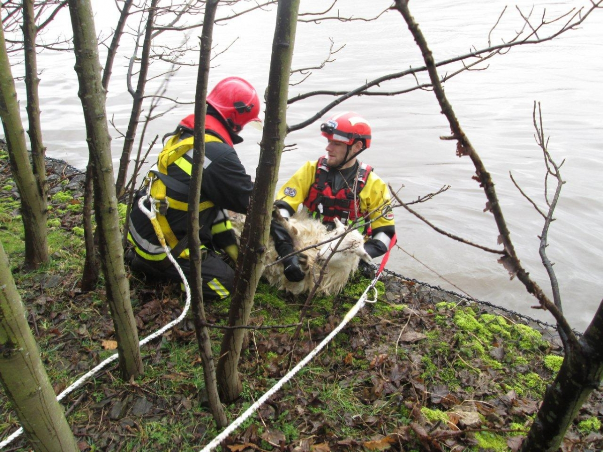 Pregnant sheep saved in dramatic canal rescue