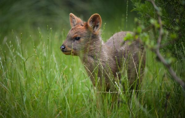 A rare pudu – the world's smallest species of deer – has been born at Chester Zoo