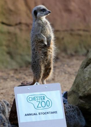 A meerkat at Chester Zoo snapped during an annual stocktake. Photo courtesy of Peter Byrne/PA Wire