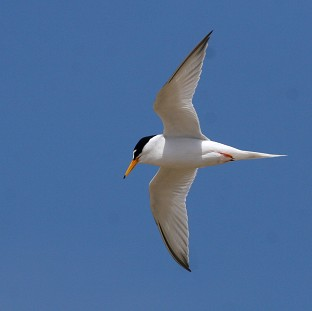Little terns have been badly affected by recent severe weather conditions, the National Trust has warned (PA/National Trust)