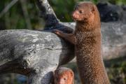 VIDEO: Dwarf mongoose pups emerge at Chester Zoo