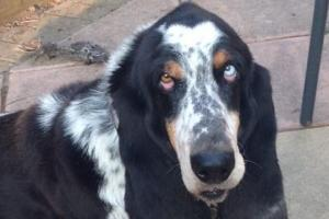 Pet Of The Week: Henry has beautiful Basset eyes