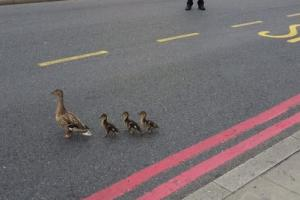 The Bill - police help ducks cross Catford road