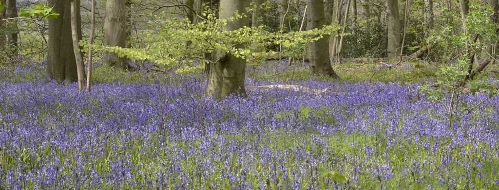 The bluebell woodlands at RSPB Burton Mere Wetlands. (Picture: Mike Malpass)