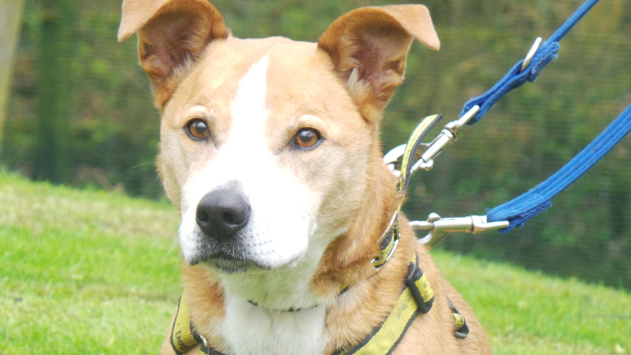 12-year-old crossbreed Beauty is currently spending time at Dogs Trust Merseyside