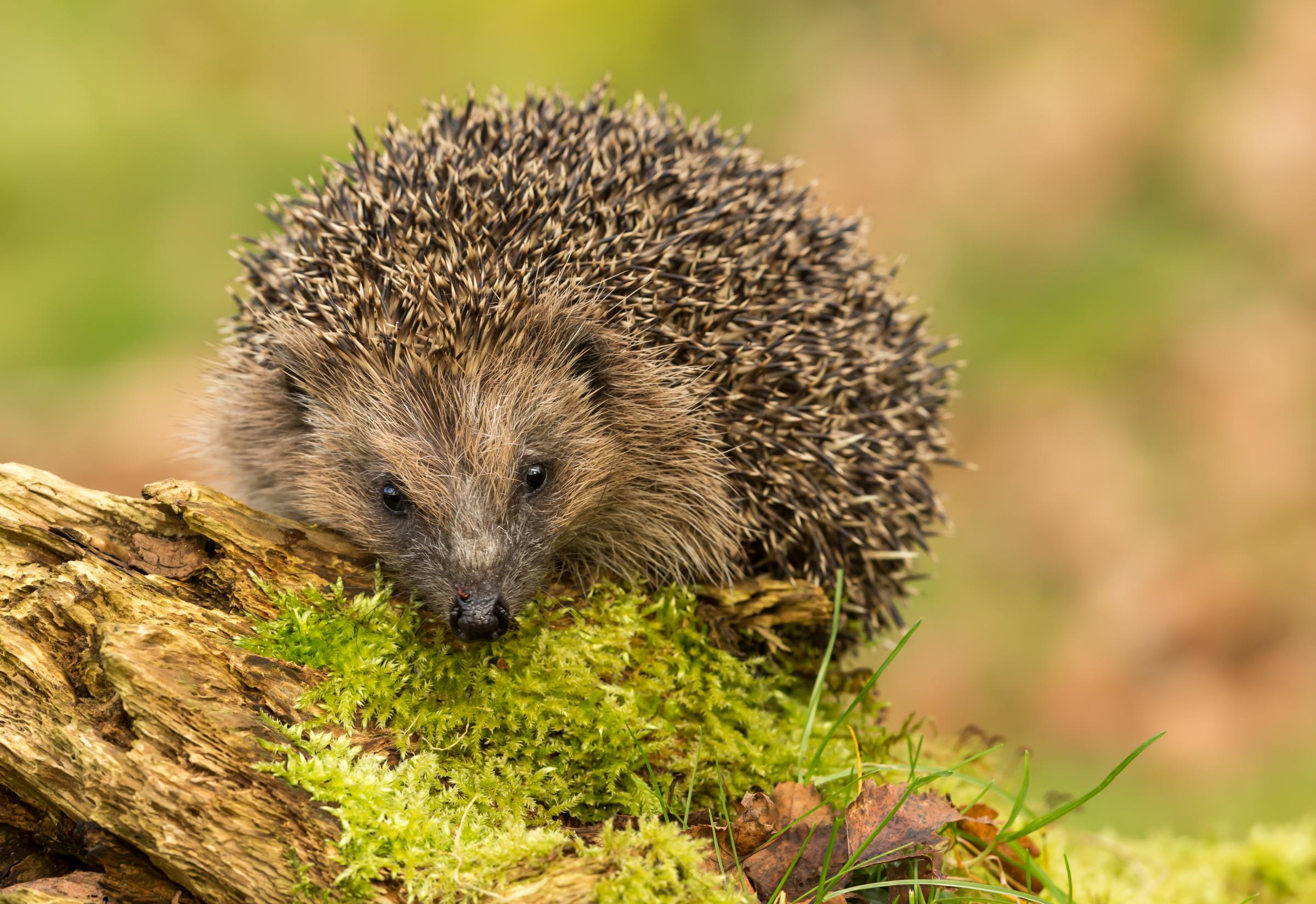 Hedgehog's have been spotted by conservationists monitoring threatened wildlife at Chester Zoo's new nature reserve