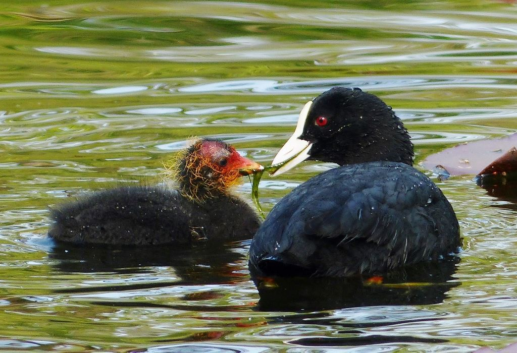 A coot with chick at Burton Mere Wetlands. (Picture: Lynne Greenstreet)