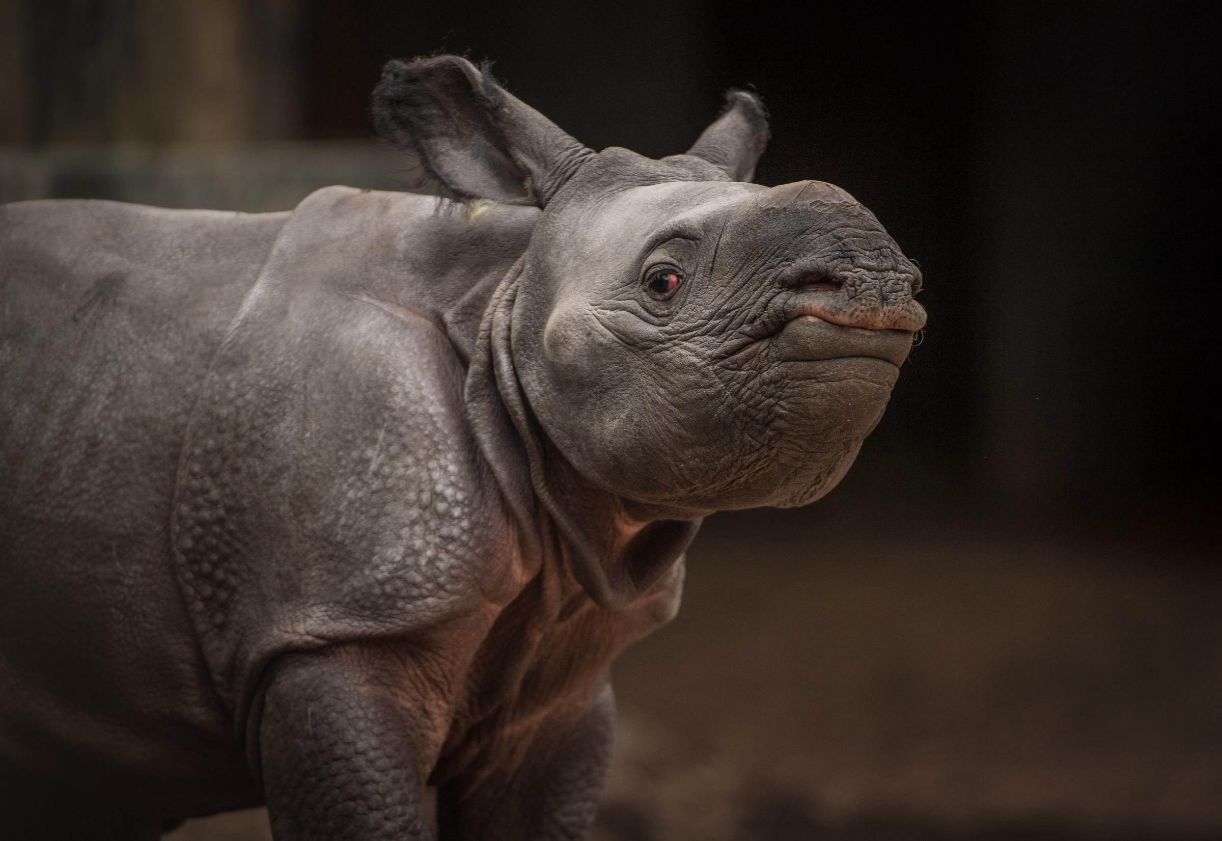 Rare greater one-horned rhino born at Chester Zoo