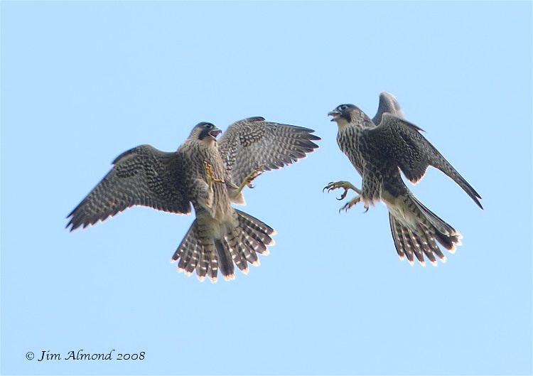"Wirral Bird Club - ""Shropshire's Magnificent Peregrines"" - Jim Almond"